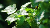 The leaves of black currant bushes Footage