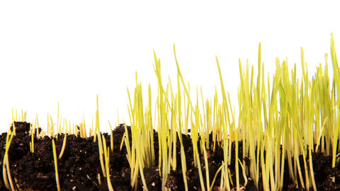 Green grass growing on the white background (Time Lapse) Stock Video Footage