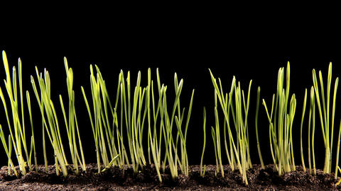 Green grass growing on the black background (Time Lapse) Stock Video Footage