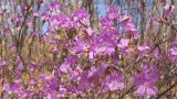 Flowering Rhododendron Dauricum Close Up Footage