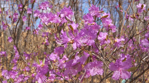 Flowering Rhododendron Dauricum Close Up Stock Video Footage
