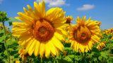 blossom sunflowers Footage