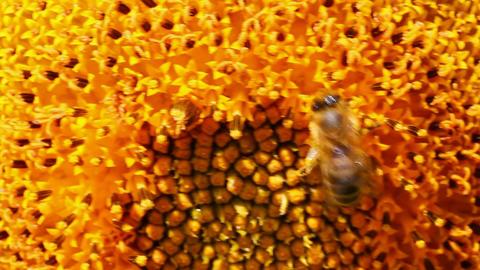 bee pollination on sunflower macro Stock Video Footage