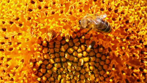 bee pollination on sunflower macro Stock Video Footage