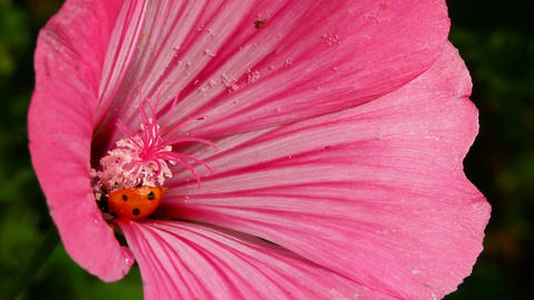 ladybug on pink flower macro Stock Video Footage