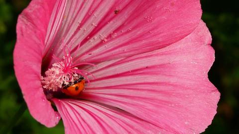 ladybug on pink flower macro Stock Video Footage