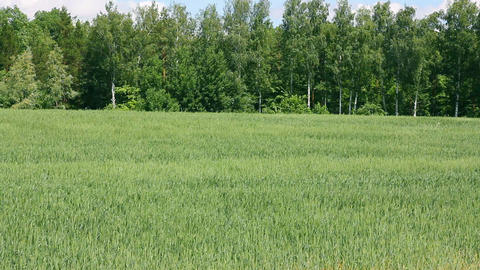 waving green field with wheat Stock Video Footage