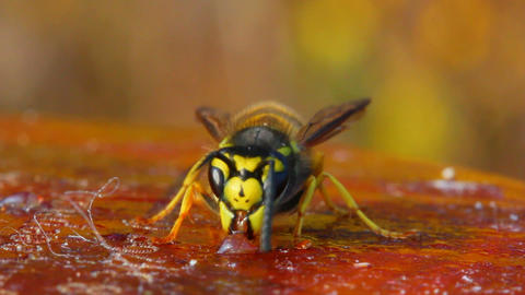 macro view on wasp eating honey Stock Video Footage