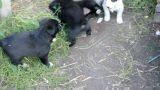 little puppies playing Footage