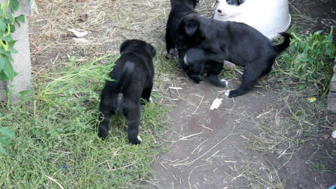 little puppies playing Stock Video Footage