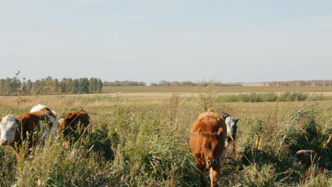 calves going Stock Video Footage