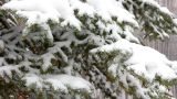 snow-covered fir and snow Footage