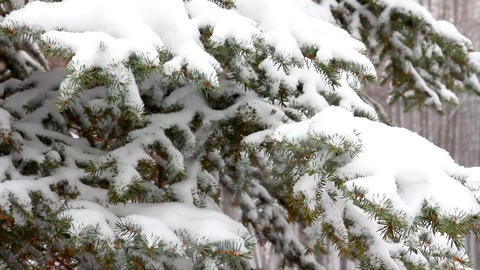 snow-covered fir and snow Stock Video Footage