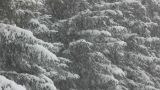 snow-covered firs and snow Footage