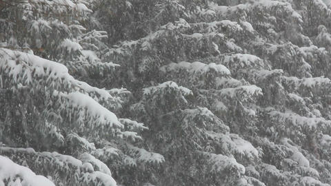 snow-covered firs and snow Stock Video Footage