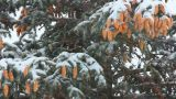 snow-covered fir with cones and snow Footage
