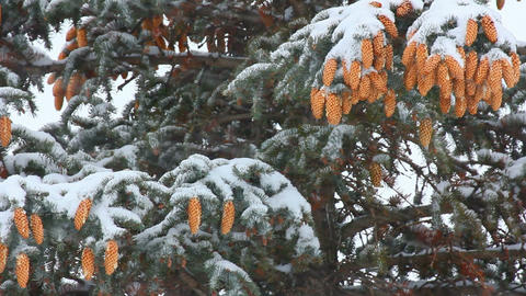 snow-covered fir with cones and snow Stock Video Footage