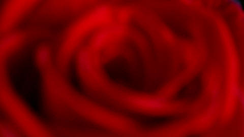 close-up view on red rose changing focus, shallow Stock Video Footage
