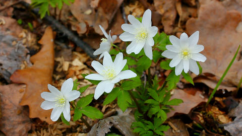 snowdrop flowers in forest Stock Video Footage
