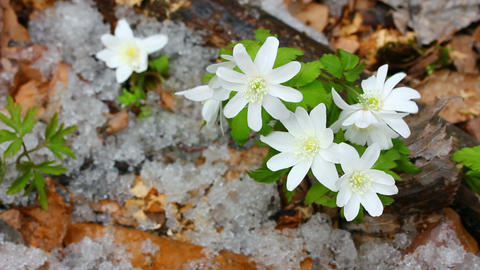 snowdrop flowers and melting snow Stock Video Footage