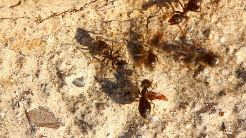 ants macro Stock Video Footage