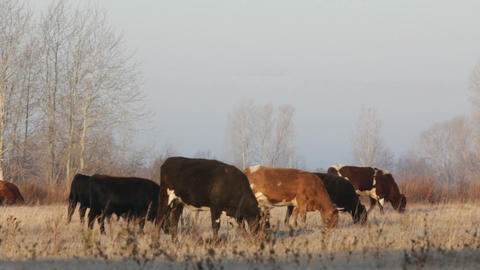 cows on autumn dry pasture - farm scene Stock Video Footage