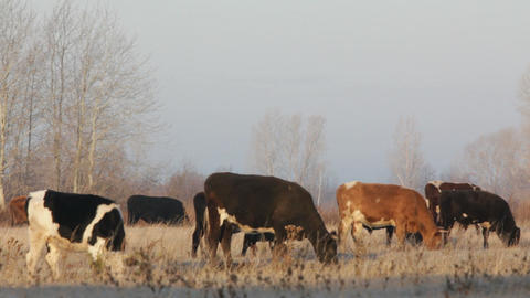 cows on autumn dry pasture - farm scene Stock Video Footage