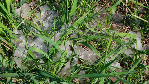 green grass and melting snow - timelapse Stock Video Footage