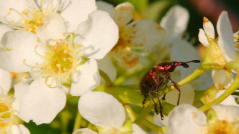 small bug on cherry tree flowers Stock Video Footage