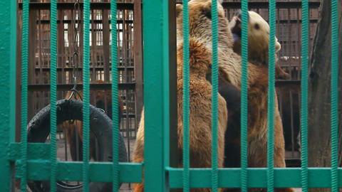 two bears playing in zoo Stock Video Footage