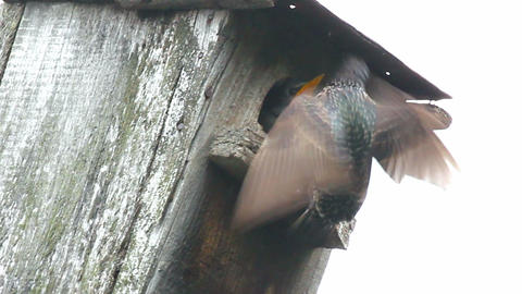 starling feeding in nesting box Stock Video Footage