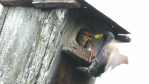 starling feeding in nesting box Stock Video Footage