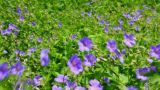 blue flowers on meadow Footage
