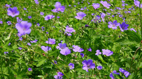 blue flowers on meadow Stock Video Footage