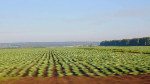 farm field with cabbage Stock Video Footage