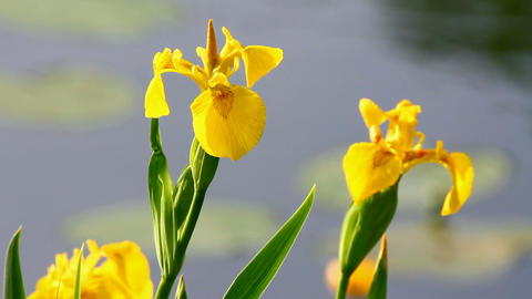 blossom irises on lake Stock Video Footage