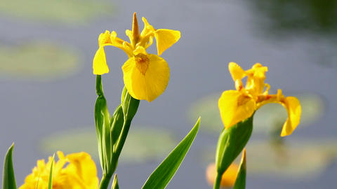 blossom irises on lake Footage