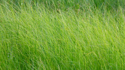 tall green grass background Stock Video Footage