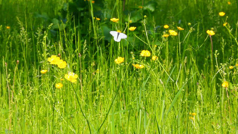 white butterfly on yellow flowers - aporia crataeg Stock Video Footage
