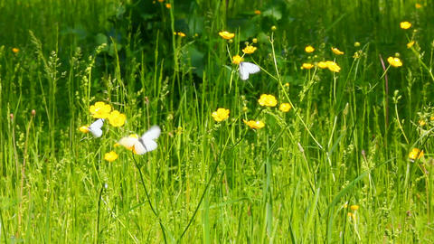 white butterfly on yellow flowers - aporia crataeg Footage