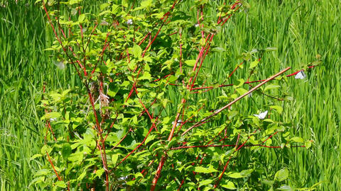 white butterfly on green leaves - aporia crataegi Stock Video Footage