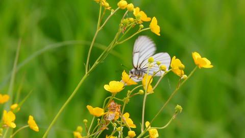 white butterfly on yellow flowers - aporia crataeg Stock Video Footage