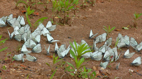 many white butterflies on sand - aporia crataegi Stock Video Footage
