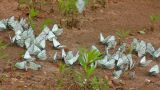 many white butterflies on sand - aporia crataegi Footage