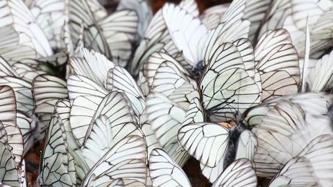 many white butterflies on sand - aporia crataegi Stock Video Footage