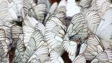 many white butterflies on sand - aporia crataegi Footage