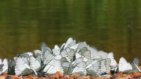 many white butterflies - aporia crataegi Stock Video Footage
