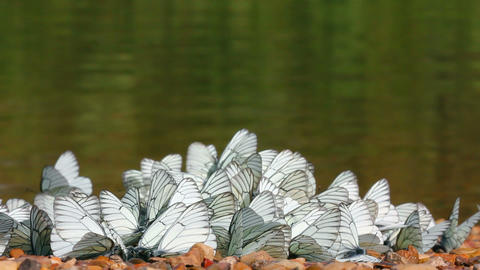 many white butterflies - aporia crataegi Live Action