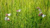 white butterfly on clover flowers - aporia crataeg Footage