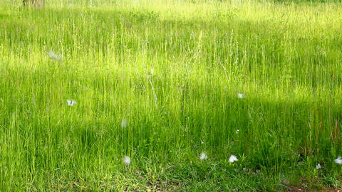 white butterfly on green grass background - aporia Stock Video Footage
